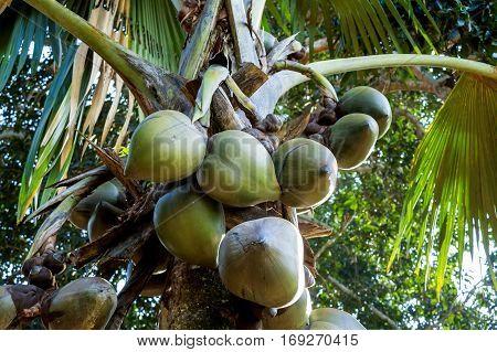 Sea coconut palm trees or Lodoicea maldivica