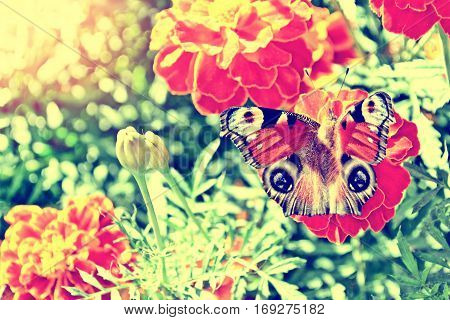 Colorful marigold on the background of the summer landscape. butterfly on a flower.