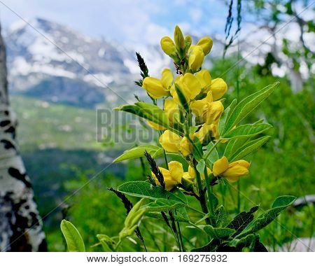 Yellow wildflowers of Colorado. Yellow Banner Flowers. Thermopsis rhombifolia. Rocky Mountains National Park. Denver. Colorado. United States.