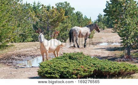 Palomino mare and Red Roan Stallion on Tillett Ridge in  Montana USA