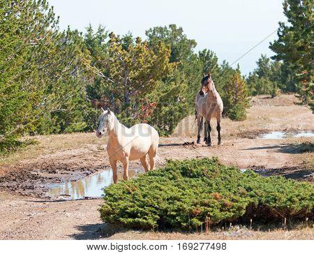 Palomino mare and Red Roan Stallion on Tillett Ridge in the Pryor Mountain Wild Horse Range in Montana USA