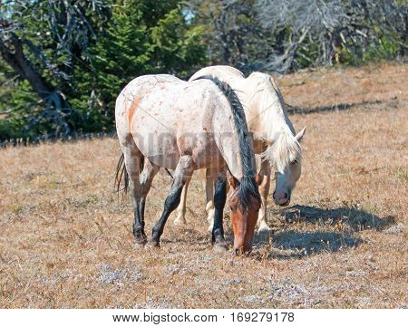Palomino mare and Red Roan Stallion grazing together on Tillett Ridge in the Pryor Mountains in Montana USA