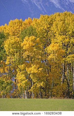 Aspen Trees in prime autumn colors British Columbia Canada