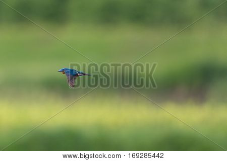 natural male common kingfisher (Alcedo atthis) in flight
