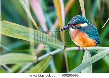 Portrait of natural young kingfisher (Alcedo atthis) in the sunlight