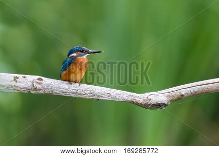 young natural common kingfisher (Alcedo atthis) sitting on branch