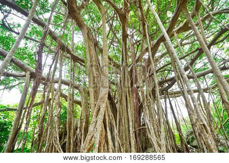 Amazing old giant tree and roots in green forest in Dai Sekirinzan park Okinawa Japan