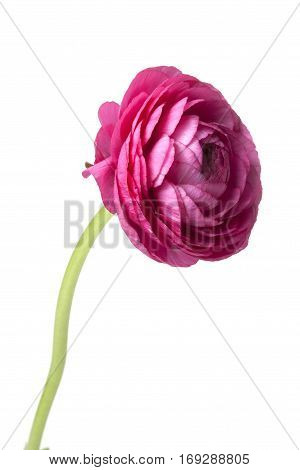 Pink Persian Buttercup flower isolated on white background