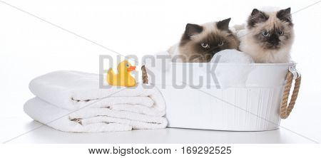 bathing the cat