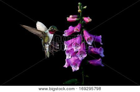 Hummingbird feeding from purple foxglove flowers over black background