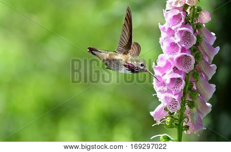 Hummingbird with flowers of purple foxgloveHummingbird feeding from purple foxglove flowers over green summer background