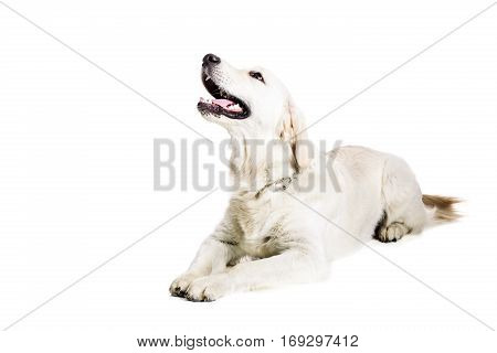 Labrador Retriever on a white background. Labrador lies. The dog is not looking at the camera