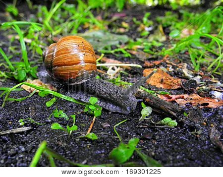 Burgundy Snail crawling on the ground in the forest after the rain. Snail in the natural environment