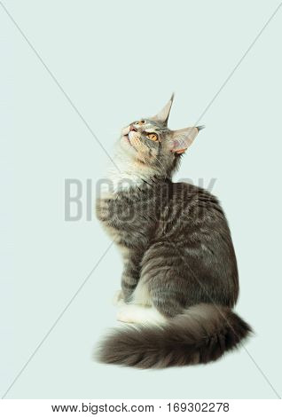Portrait of kitten Maine coon looking up on light grey background