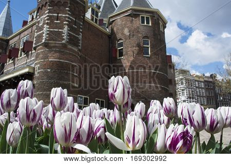 Many white and lilac tulips near brown castle in Amsterdam in the spring in daylight