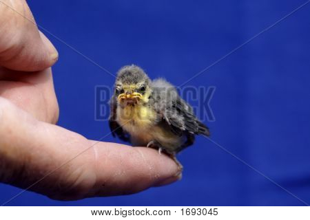 Blue Tit Chick