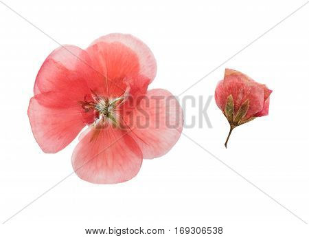 Pressed and dried pink delicate transparent flowers geranium (pelargonium). Isolated on white background. For use in scrapbooking floristry (oshibana) or herbarium.