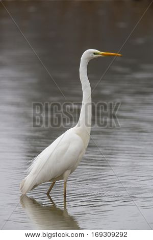 Great white Egret (egretta alba) walking and wading in the water