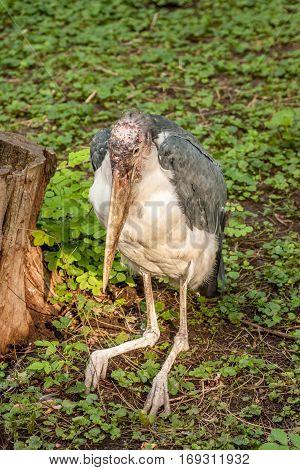 Wading bird Marabou stork or Leptoptilos crumenifer preched on a tree against blue sky