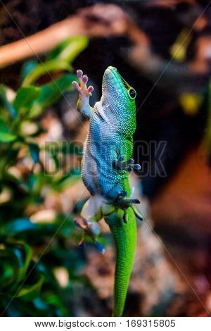 green gecko holding on glass  with suction cups