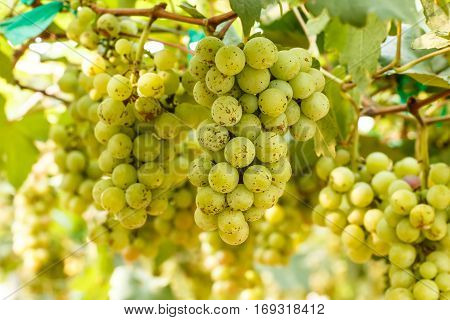 Branches of red wine grapes growing . Close up view of fresh red wine grape Vineyard view with big red grape growing. Natural grapevine