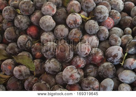 Plums background. Eco plum. Beautiful blue plum closeup - background from fresh fruits. (Selective focus)