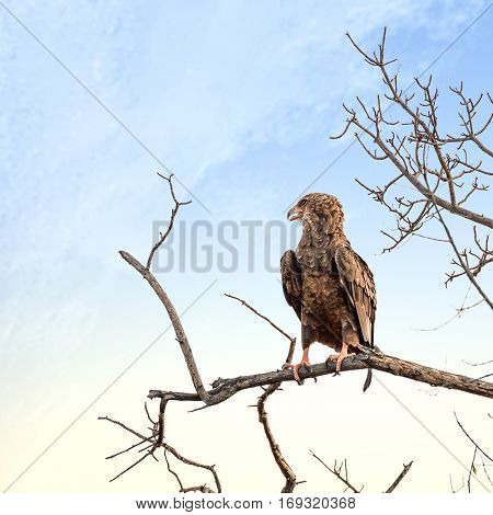 Juvenile Bateleur eagle, perched on a dead tree, in Kruger National Park, South Africa.