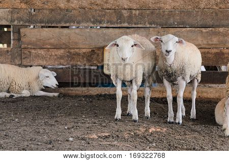 Two white sheeps inside the corral, looking forward, wooden fence with dirt floor.
