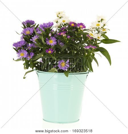 Blue and white daisy in bucket for the garden