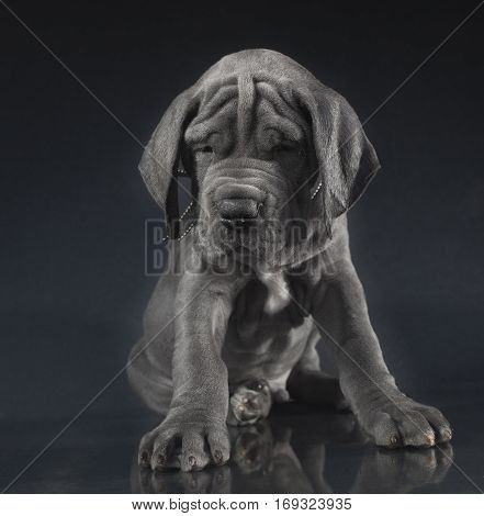 Purebred Great Dane puppy with lots of wrinkles on its face