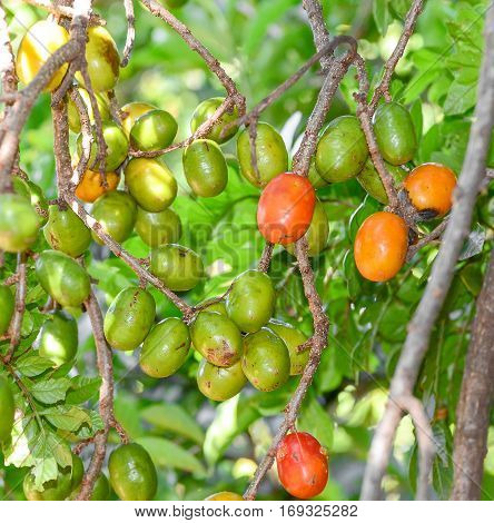 Red and green siriguela fruit on the tree branches.