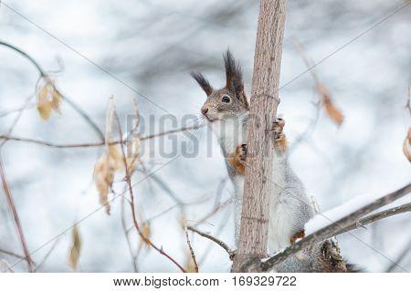 Portrait Of Gray Squirrel In Winter Park,