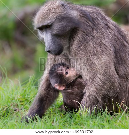 Baby Chacma Baboon with his mother, near Cape Town, South Africa