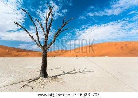 old acacia tree in the dead valley landscape, Sossusvlei, Namibi