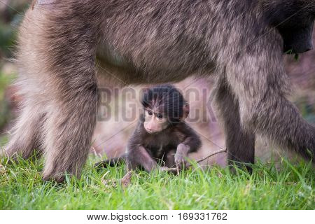 Baby Chacma Baboon under the protection of his mother, near Cape