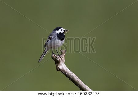 Portrait of white wagtail (Motacilla alba alba) standing on branch with food in beak