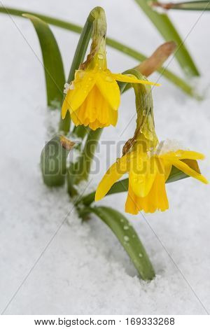 Yellow daffodils growing in early spring primroses are covered with snow blooming spring flowers narcissus