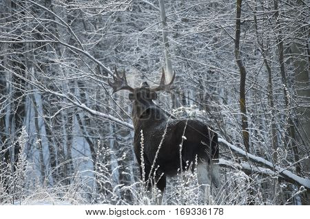 Elk looking up in the winter and the frosty forest.
