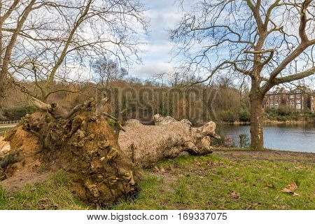 A fallen tree left to rot in the park just in front of the lake. Cloudy winter sky in Britain with typical houses in the background.