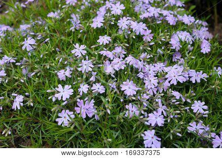 Blue periwinkle (vinca minor) in the garden