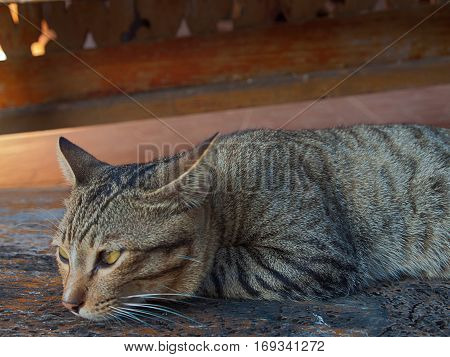 Close up Portrait of brown cat Lying on the wooden floor. (soft focus)