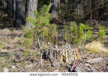 Old mouldering stump with little pine-trees in the forest