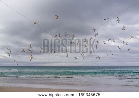 Flock Of Birds Above Ocean. Hooded Plovers At Pennington Bay, Kangaroo Island, South Australia.