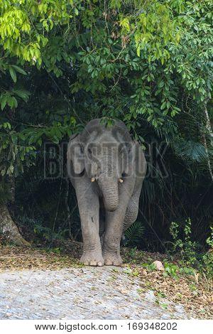 Wild elephant in Khao Yai National Park Thailand