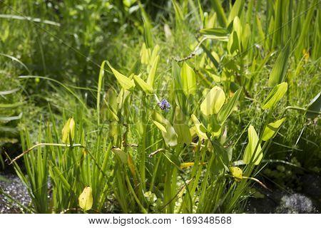 Pickerel Weed (pontederia Cordata)