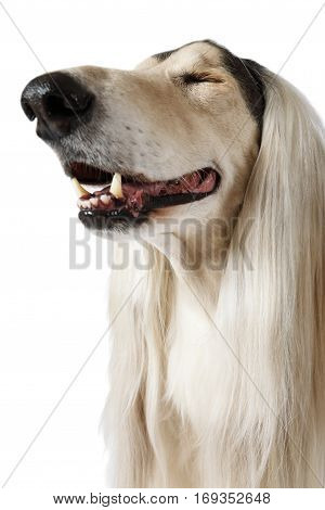 Close-up portrait of Afghan Hound Dog narrowed pleasure isolated on white background