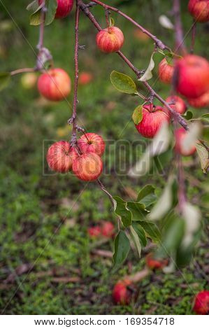 beautiful apple orchards with fruit trees in autumn