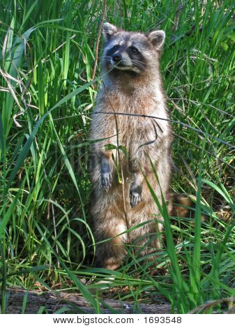 Raccoon Standing