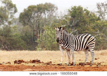 Double Zebra Eyes - Two Zebra Standing Next To Each Other