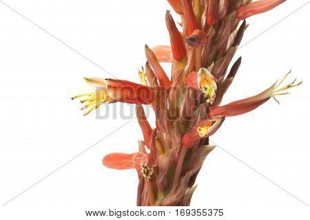 Orange Agave flower isolated on white background